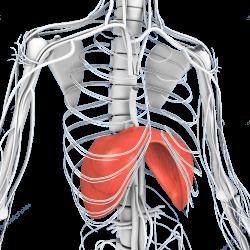 Tekening van de diafragma, een spier aan de onderzijde van je ribben bedoeld voor ademhaling